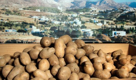 Νάξος: Πατάτα για …ρεκόρ Guinness!